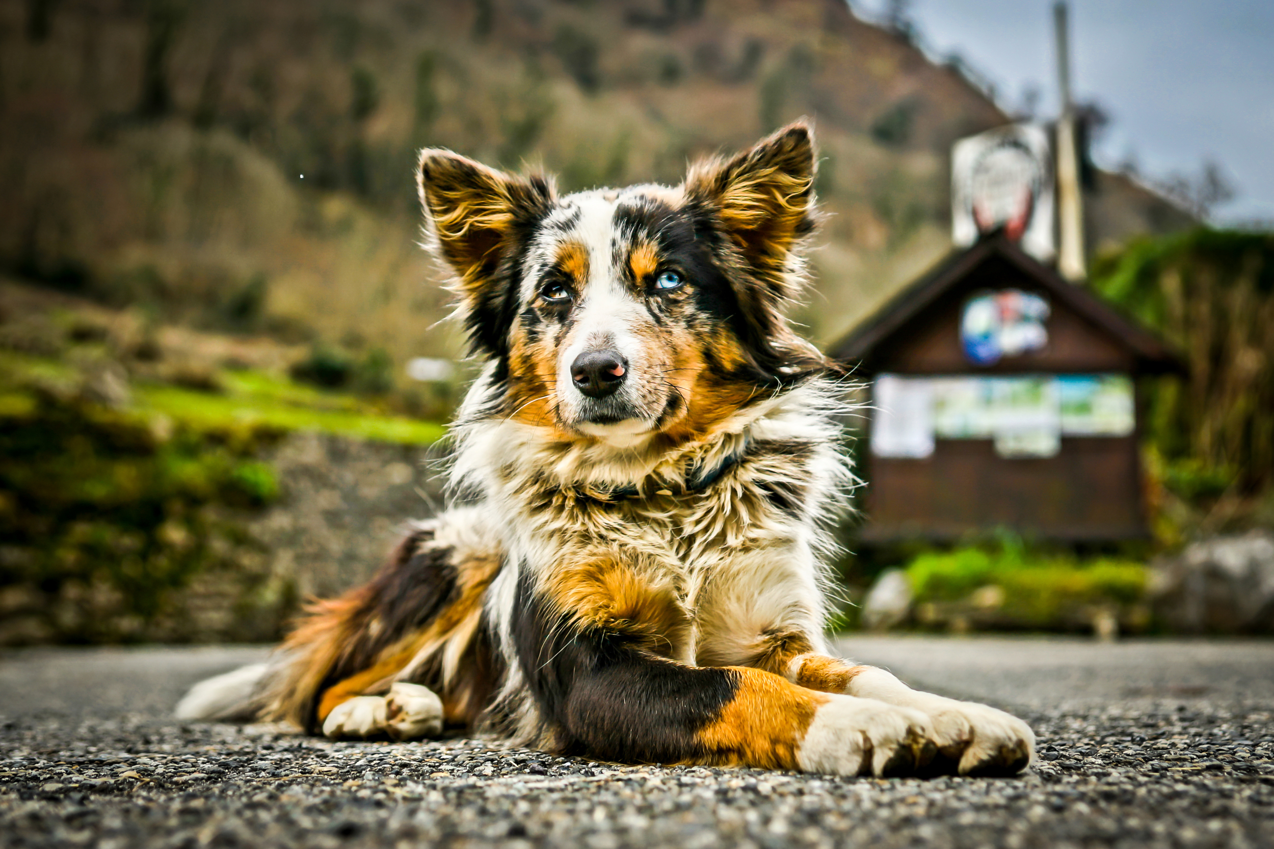 Came accross this most amazingly coloured dog on my travels through the Pyrenees.