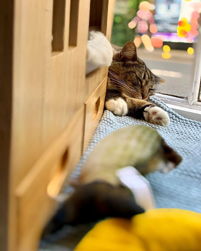 Fabian napping in the window of Edinburgh's lovely cat cafe