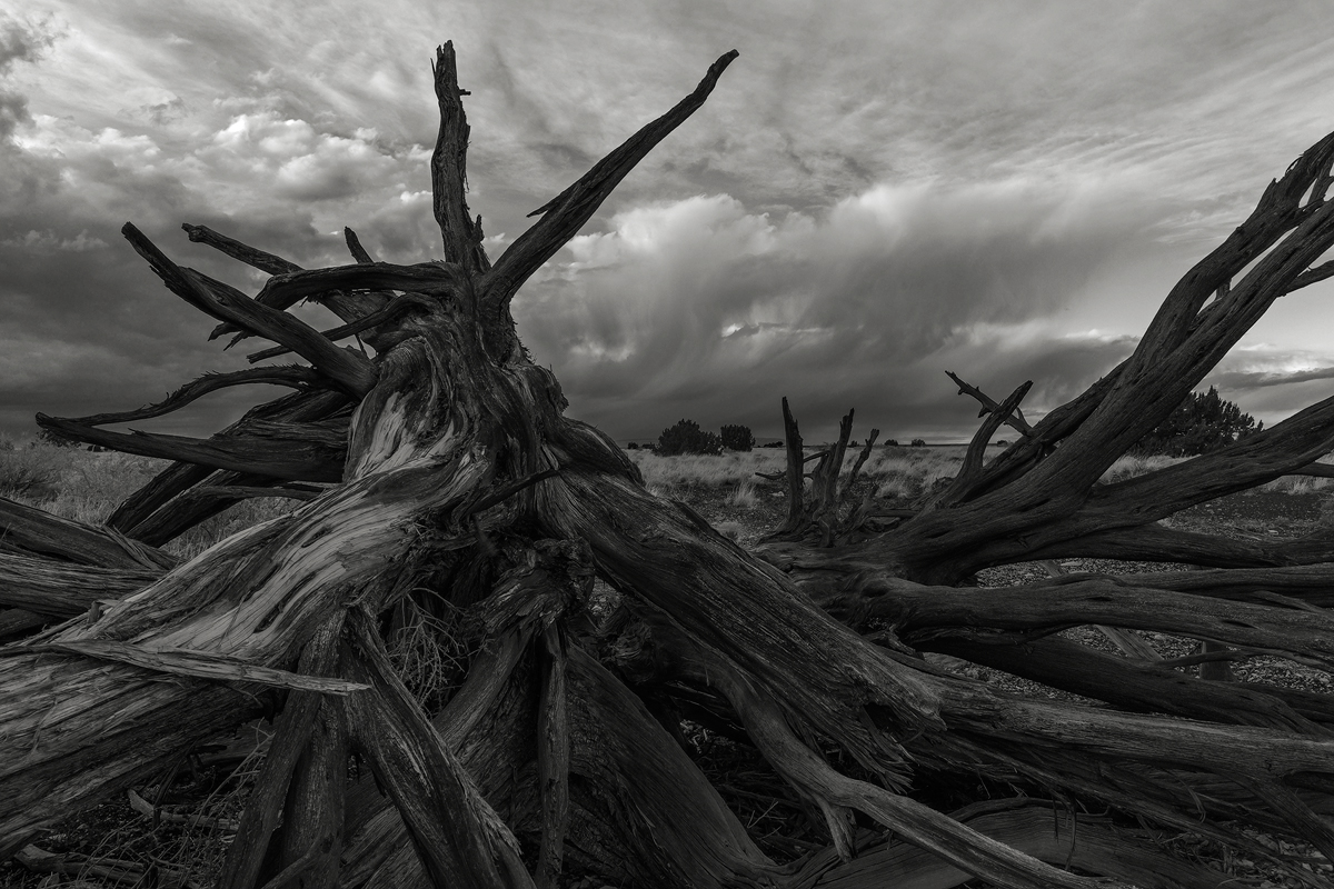 Remnants of a pinion juniper stand against an approaching storm, Wupatki National Monument, Arizona.