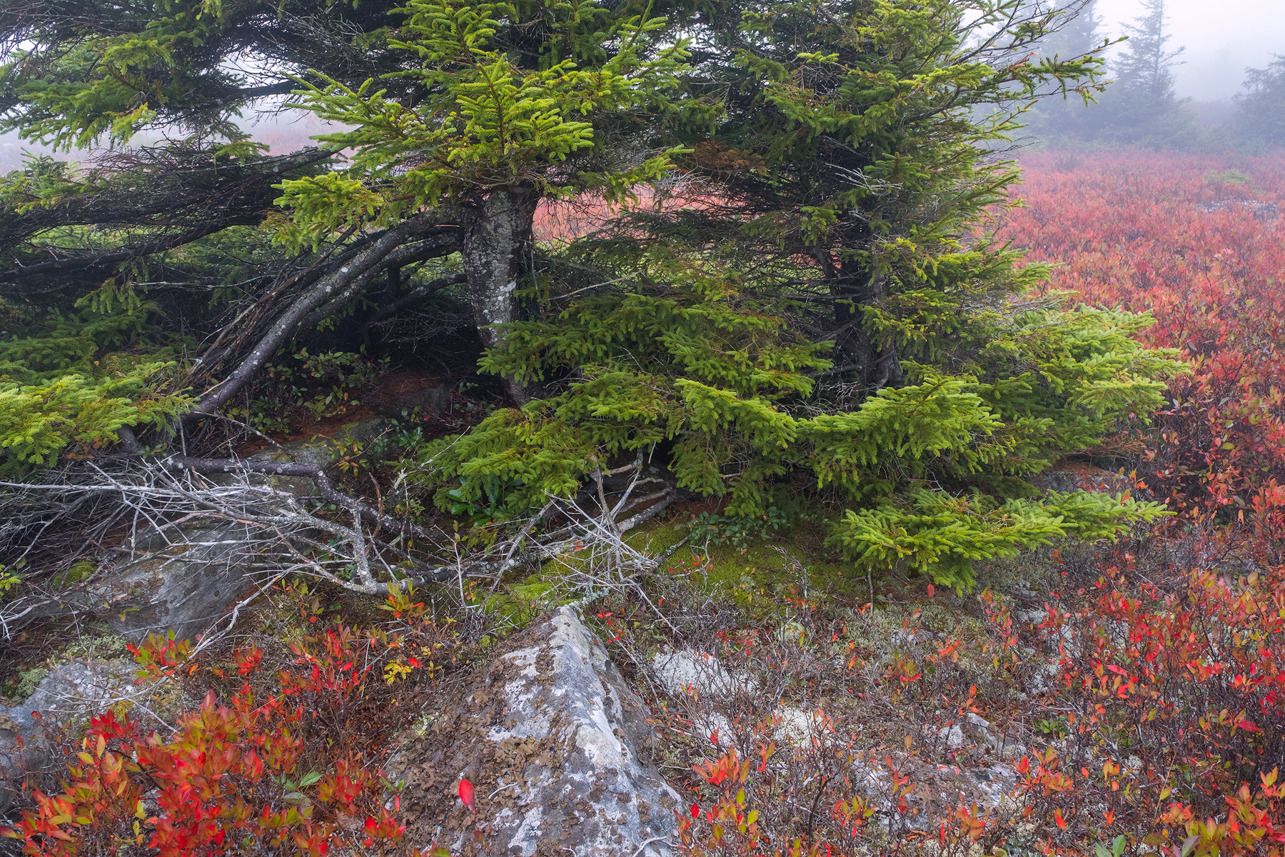 Pine and Huckleberry • Dolly Sods Wilderness, WV