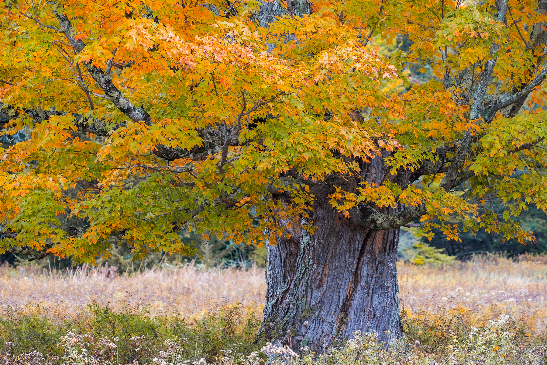 Maple in Fall Colors • Canaan Valley, WV