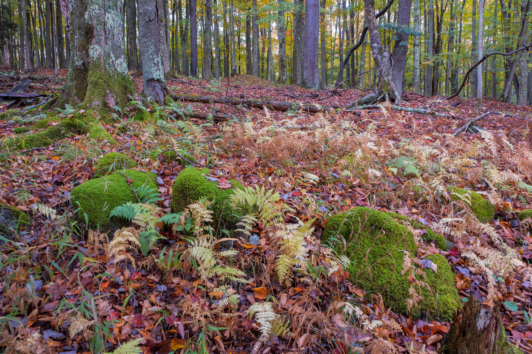 An Intimate Forest Landscape • Canaan Valley Wildlife Refuge, WV