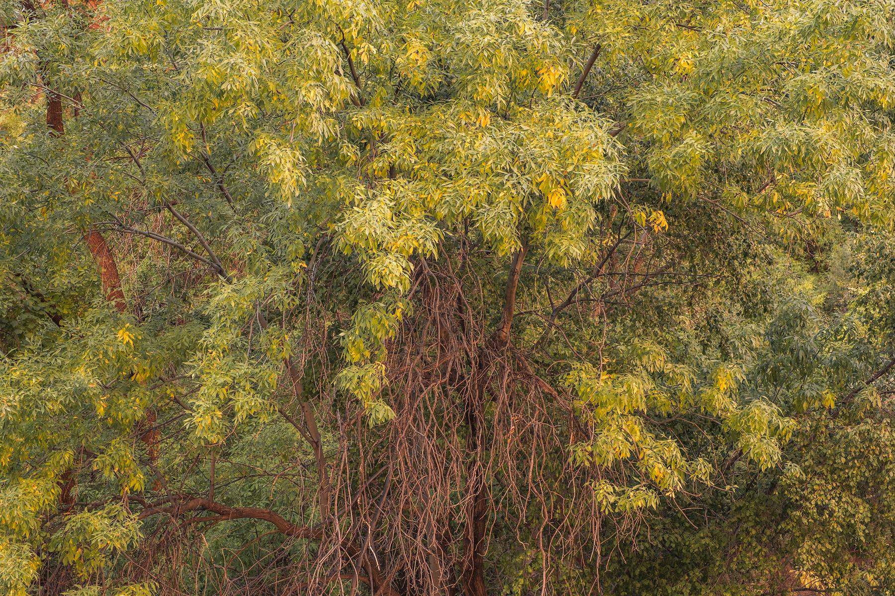 Golden Cottonwood, Zion National Park, UT.