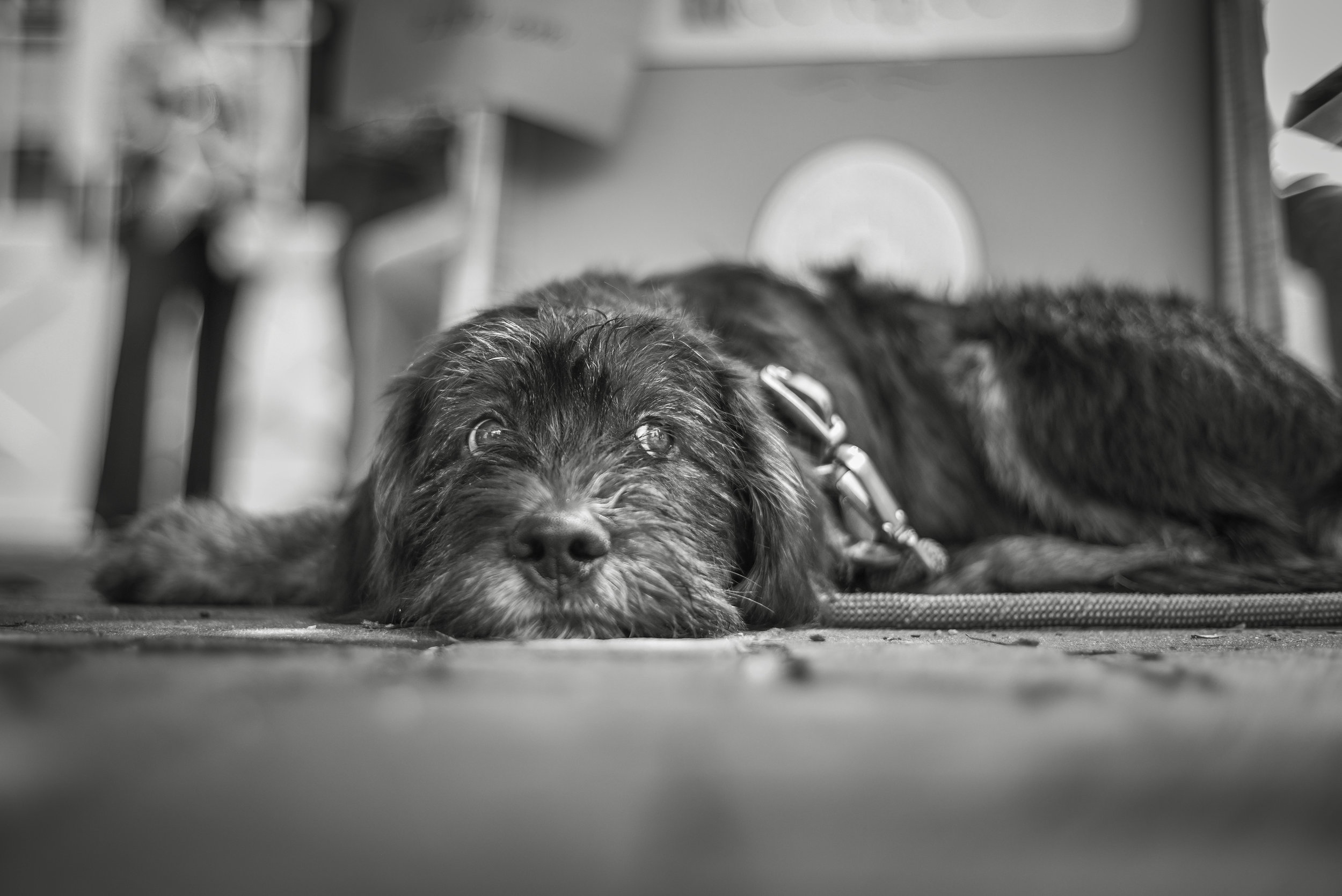 Travis, The Dog • Voigtlander 40mm f1.4 SC