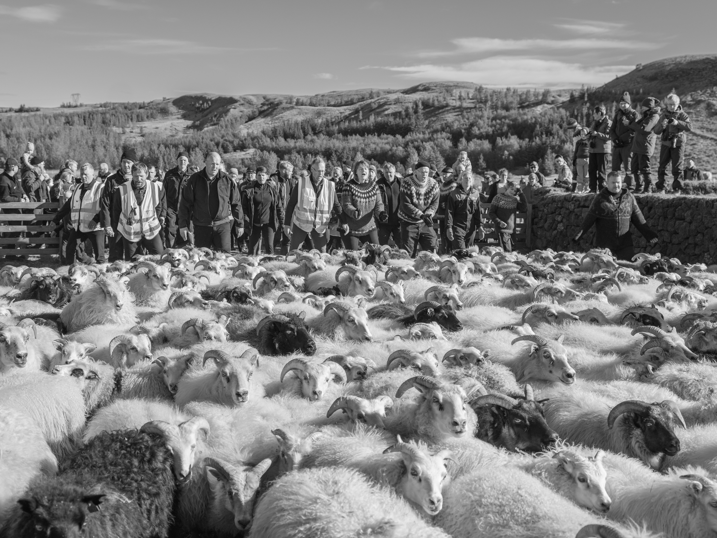 The framers at the back of the group pushing the sheep forward into the ring.
