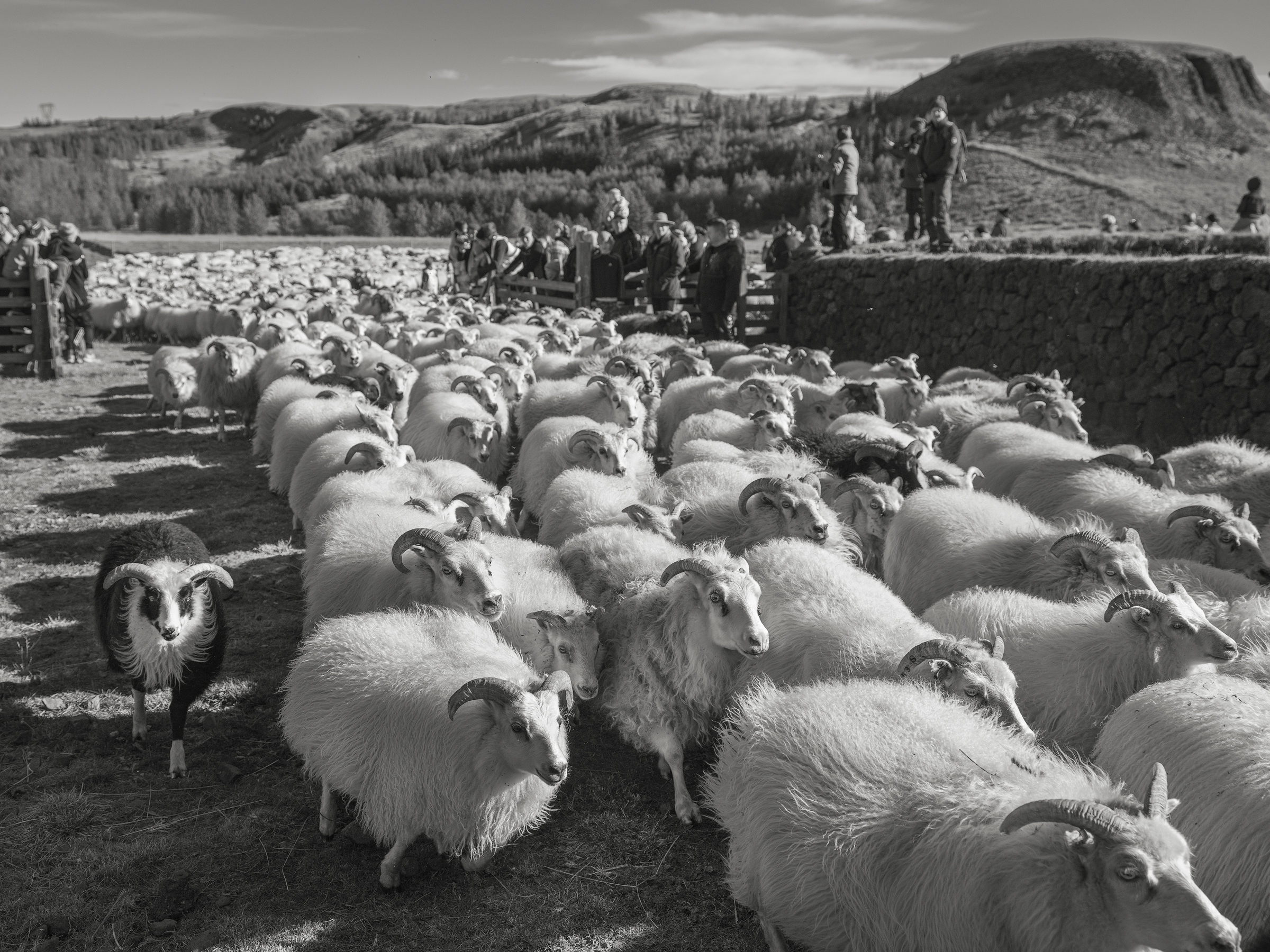 As the gates open the sheep at the front of the group rush into the  almenningur.