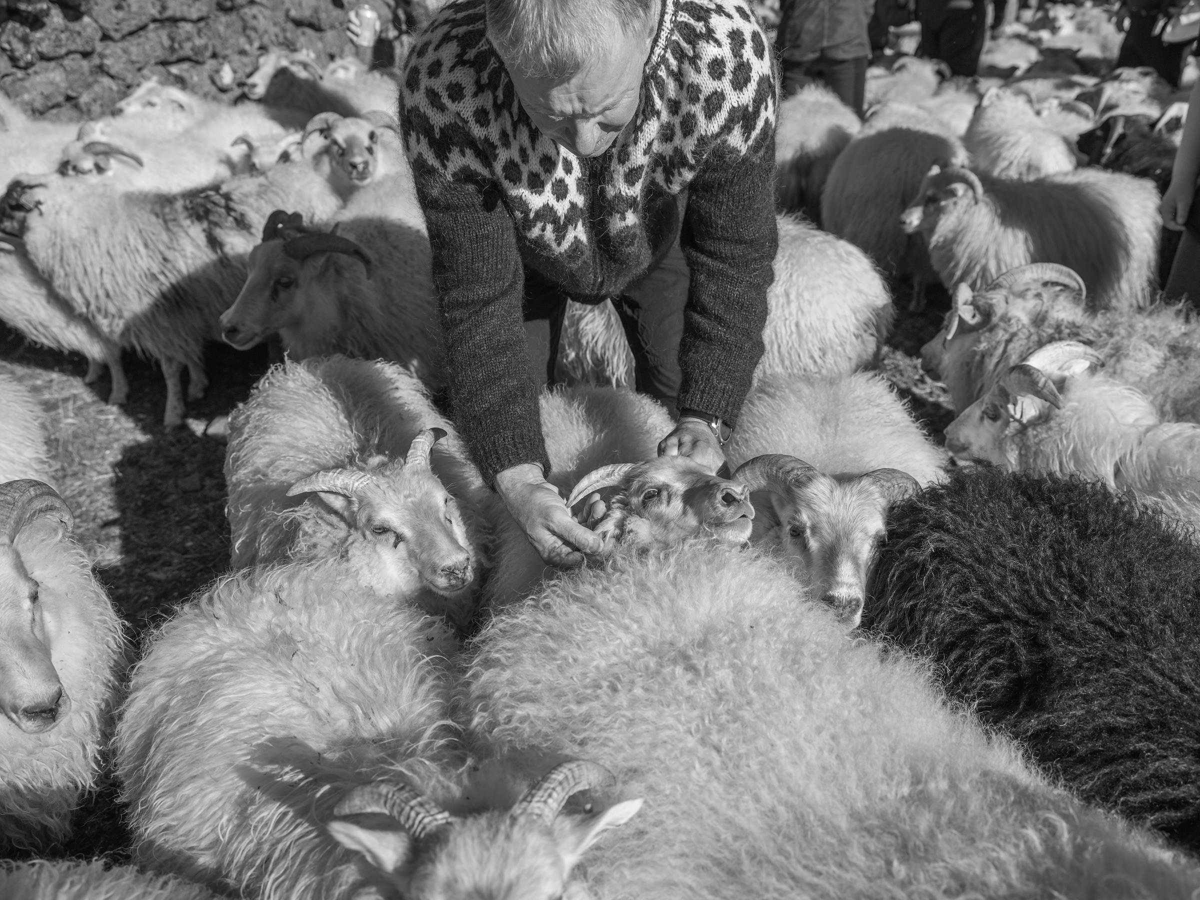 One of the farmers checks an ear tag, and ear marks during the sort.