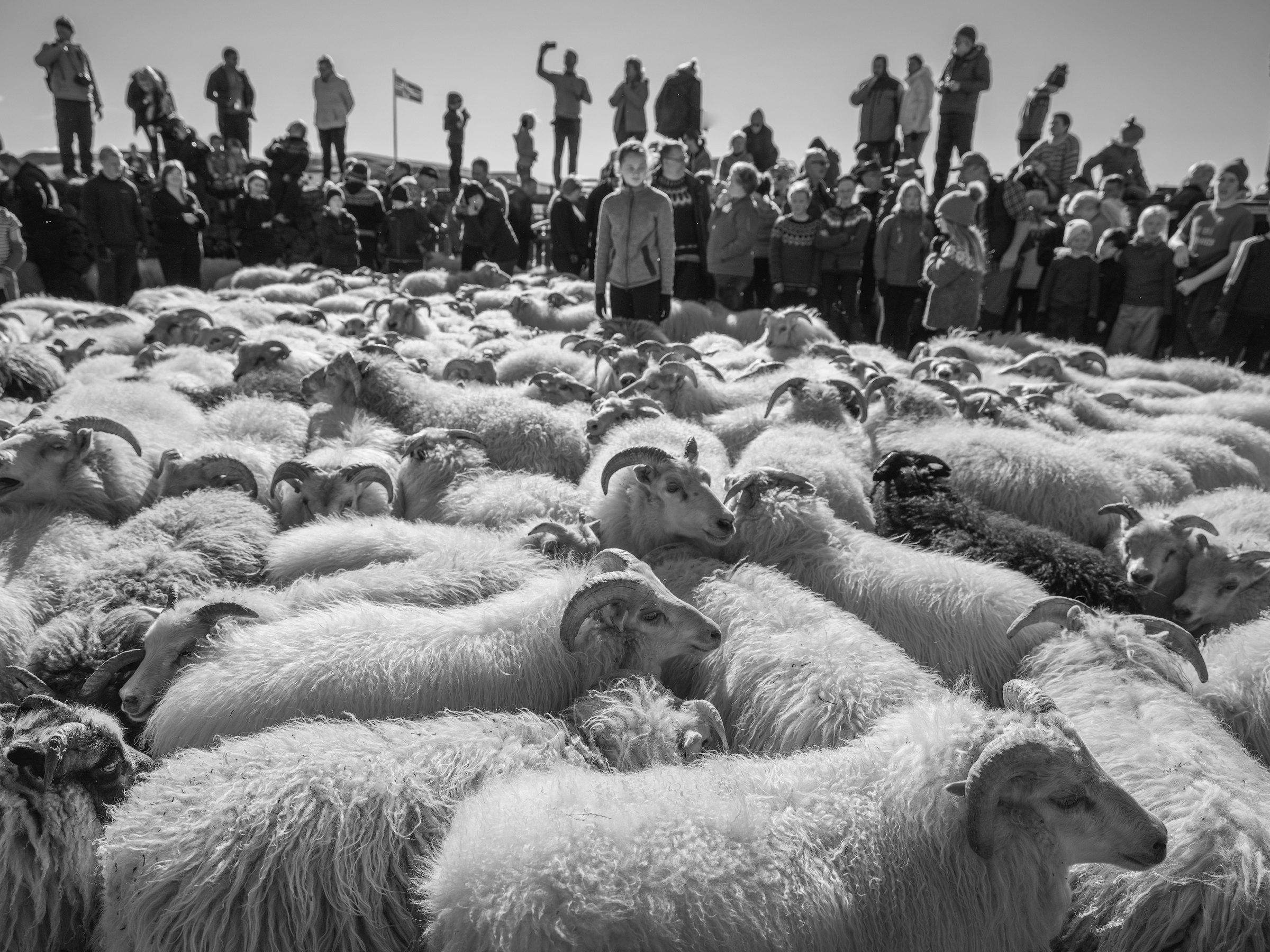 It is like looking for a needle in a haystack as 1500 sheep move around the inner ring.