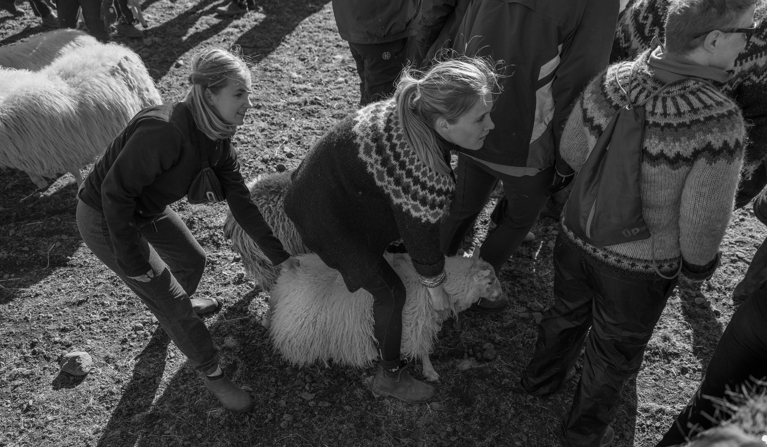 Pálína moving one of her sheep to the gate.