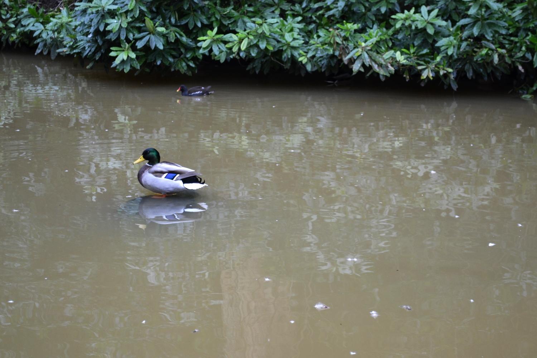 Duck Pond in the Valley Gardens, Harrogate. 2015
