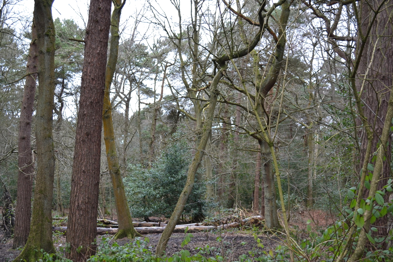 Pine Woods. 2015