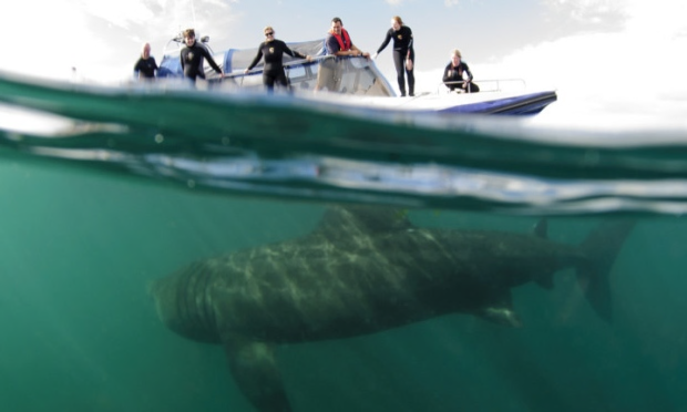 Thanks to 'Basking Sharks Scotland' for use of the images until we procure our own. (   http://baskingsharkscotland.co.uk   )