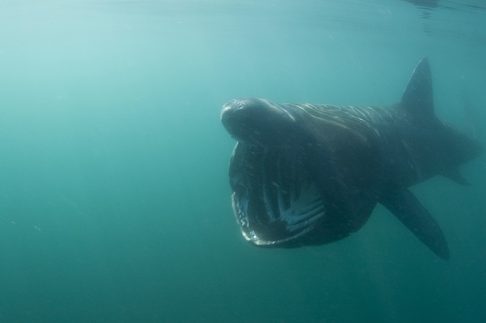 Basking Shark!