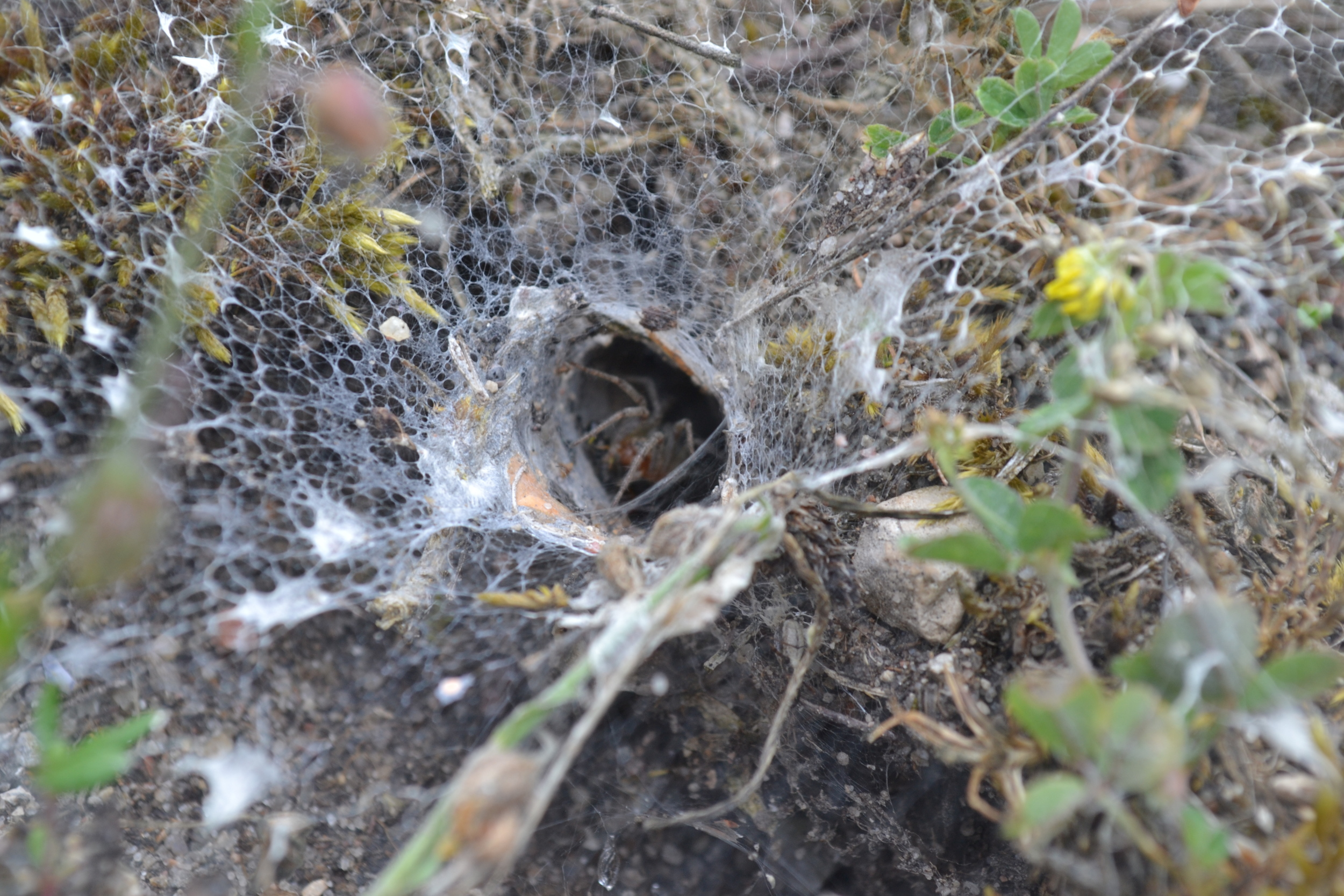 Funneling Spider, 2015