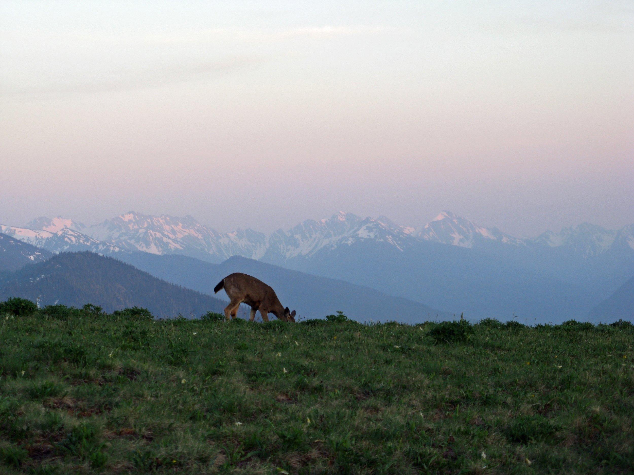 Blacktail Deer   Photo Credit: NPS