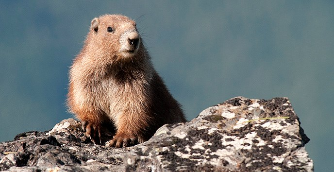 Olympic Marmot | Photo Credit: NPS/Ken and Mary Campbell