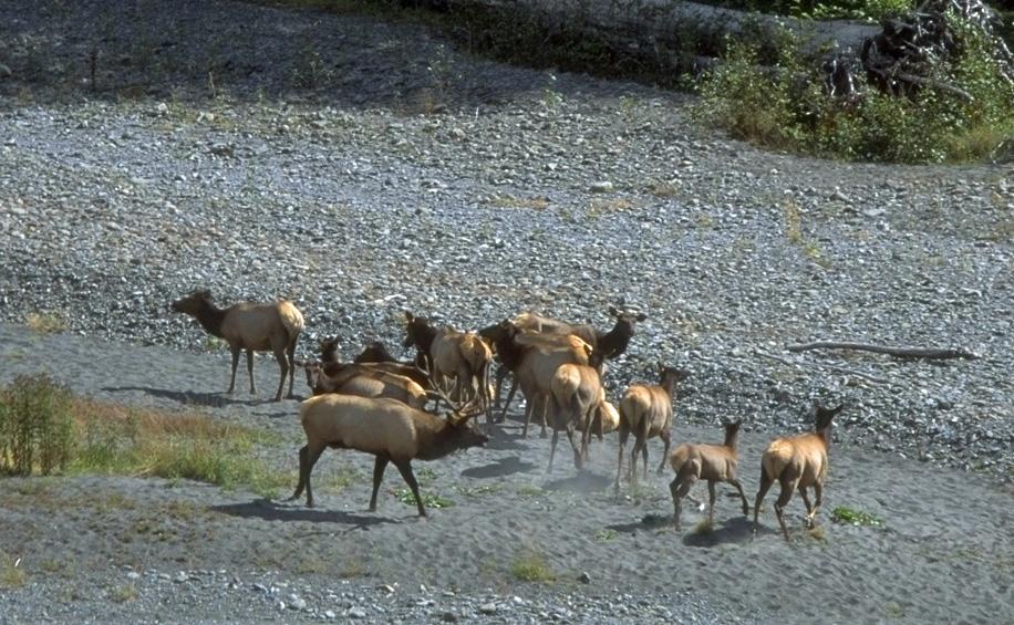 Herd of Roosevelt Elk   Photo Credit: NPS