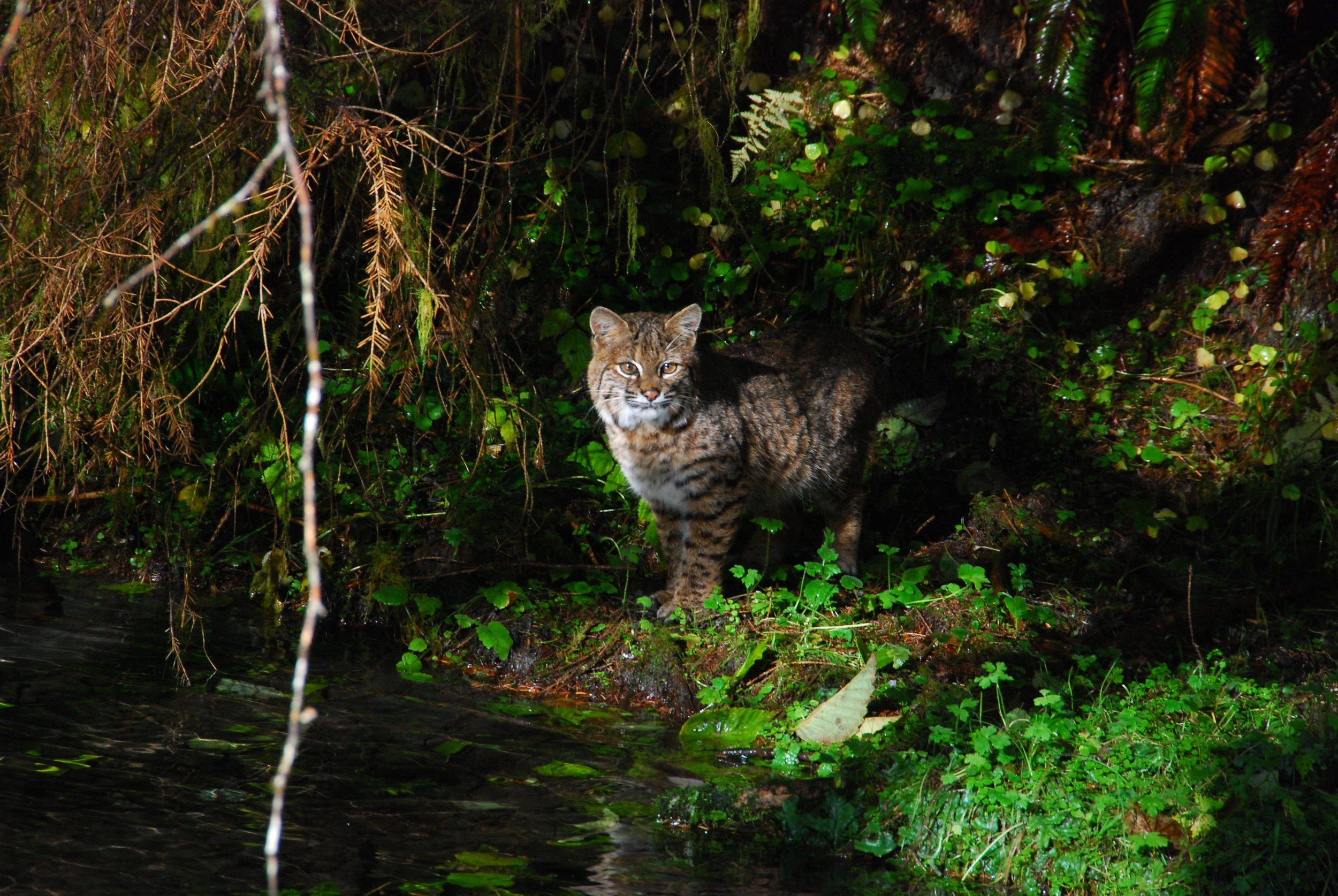 Bobcat   Photo Credit: NPS