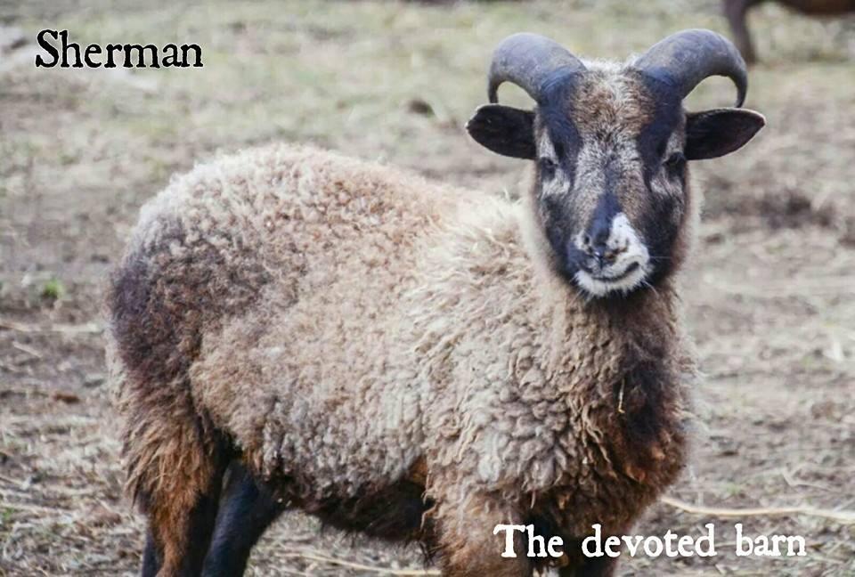 Goats and sheep 4.jpg