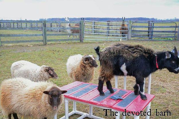 Goats and sheep.jpg
