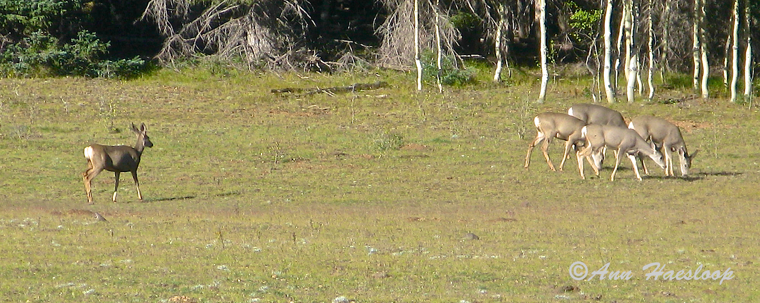 Along the tree line we saw two separate groups of deer.