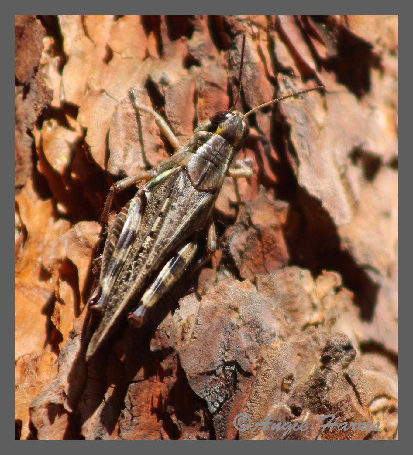 Grasshoppers like this one were so abundant that you could not walk a single step without sending a dozen hopping through the leaves.  The sound gave me the impression that there was an army stomping through the leaves all around me!