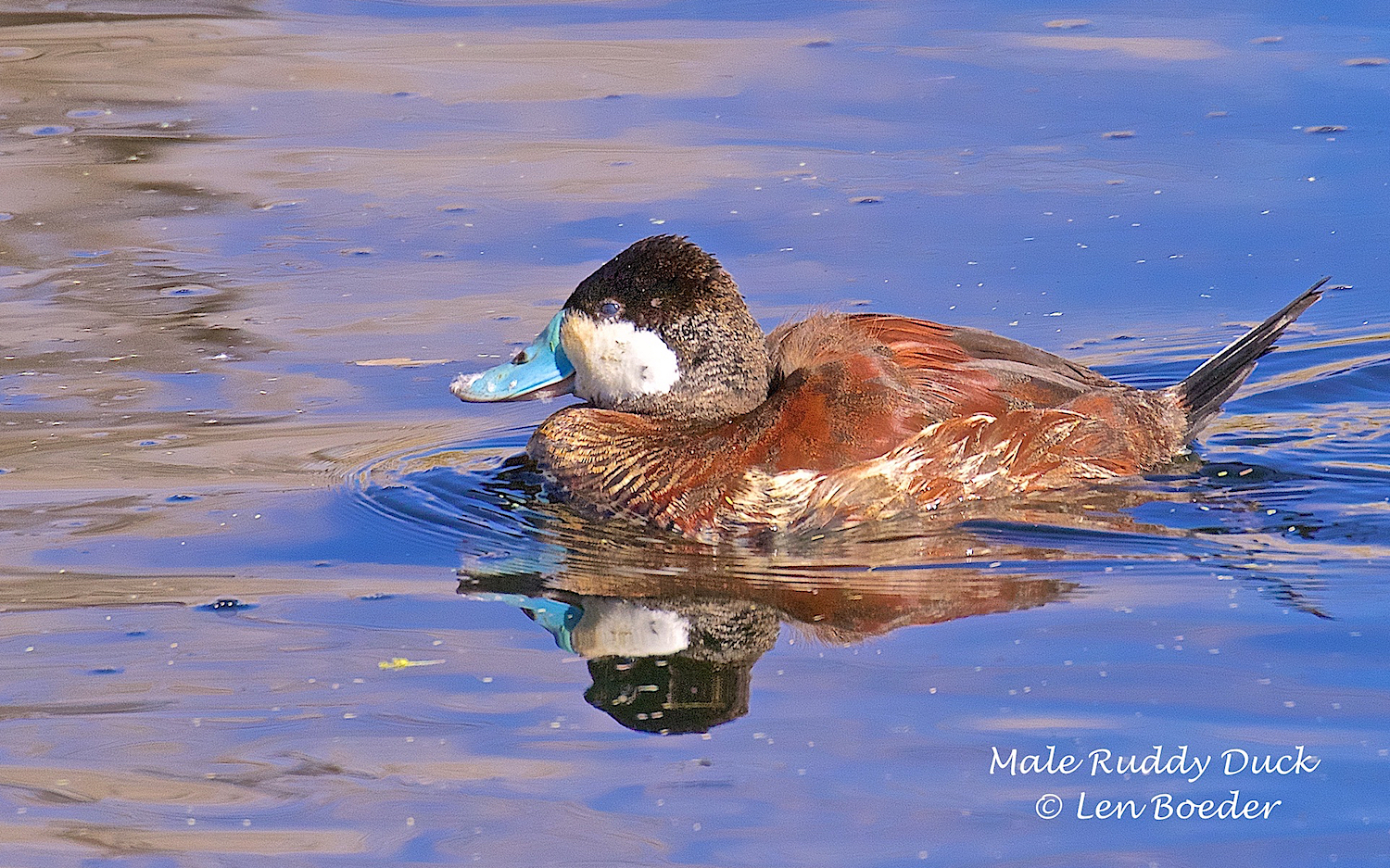"""Len notes, """"The male Ruby Duck's bill turns blue during the mating season. Iasked him to pose for my picture, forgetting that he had just beenpreening before the shot. Notethe feathers on his blue bill. I will try to clean him up better before I take his picture next time.!"""