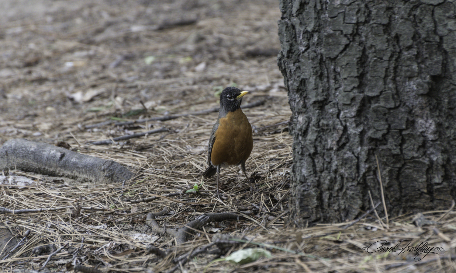 Male Northern America Robin.  His mate was nearby getting her cold bath in the Merced River.