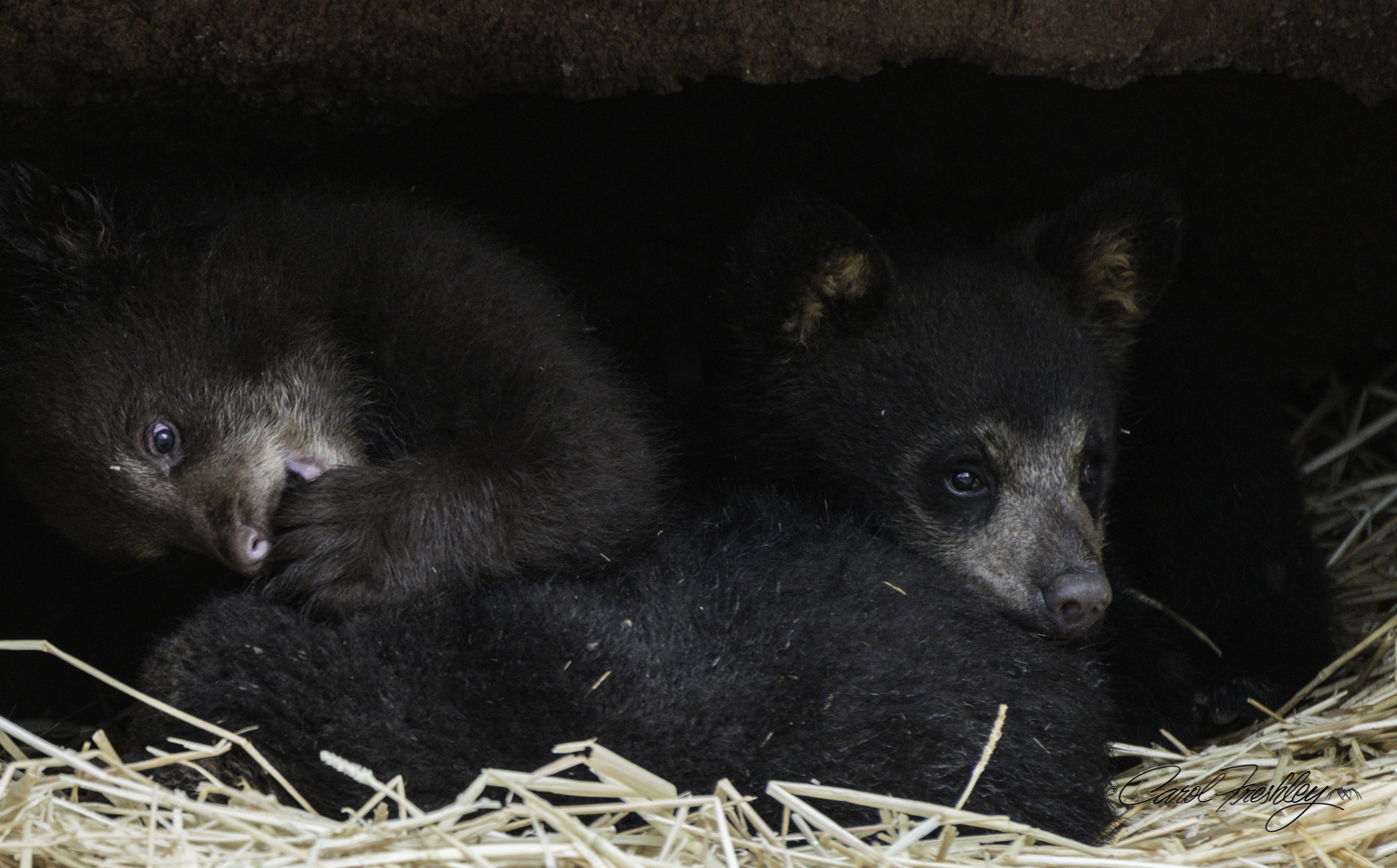 There are lots of babies right now at Bearizona.  These are the baby bears that were just put out for public viewing..