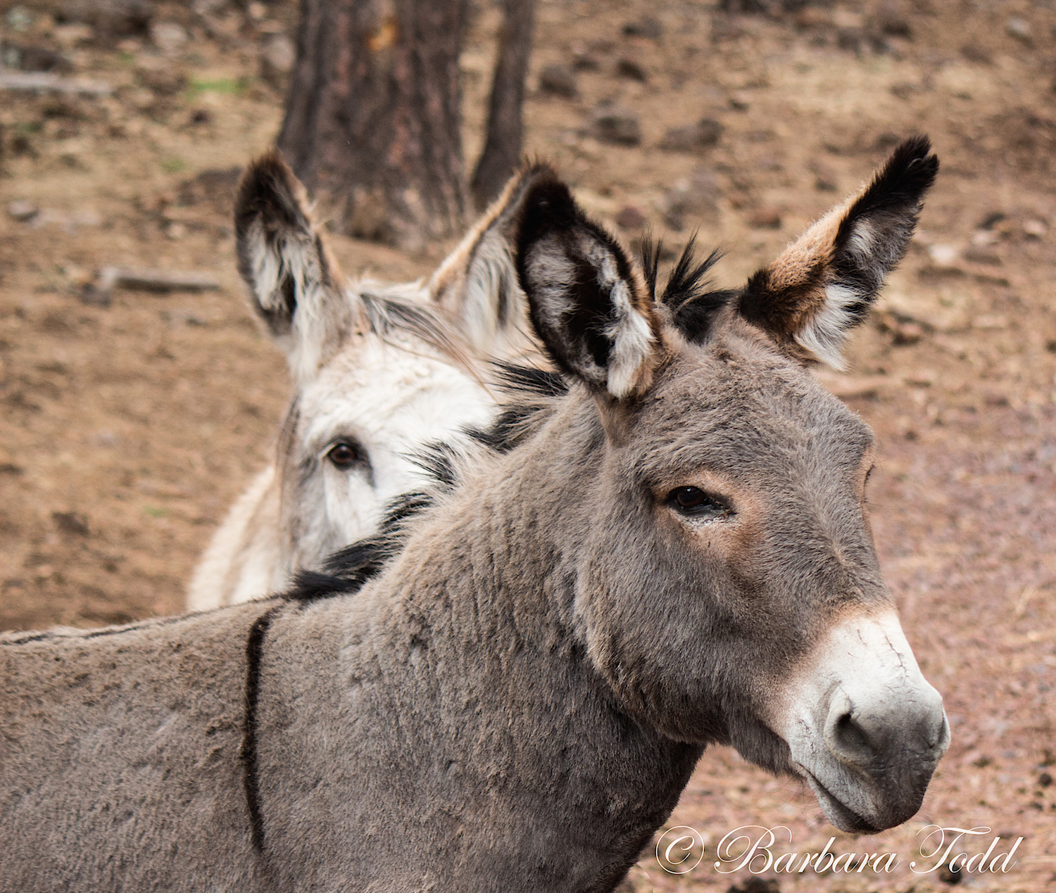 The bus driver explained that donkeys have a stripe across their shoulders as a sign of blessing because they carried Virgin Mary when other animals refused.