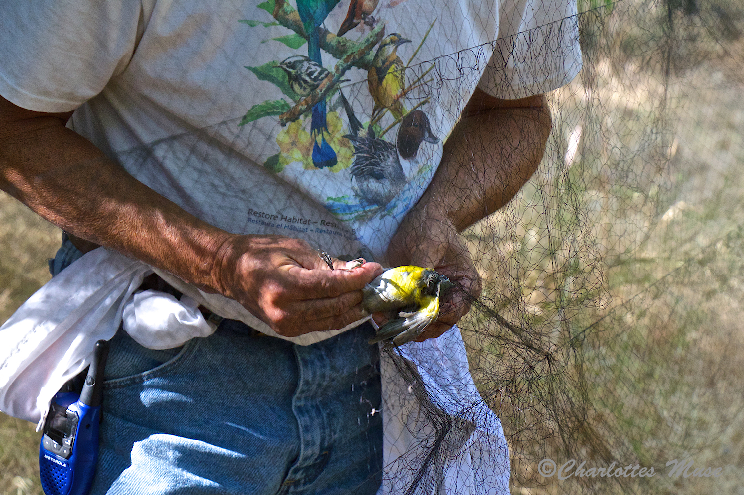 The trapped birds are carefully removed by trained volunteers and place into bags to be transported to a table where they are examined and, if not already banded, they are banded.
