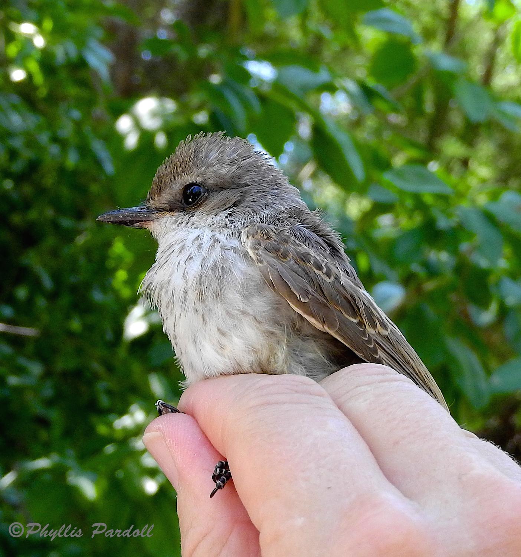 Vermillion flycatcher young female
