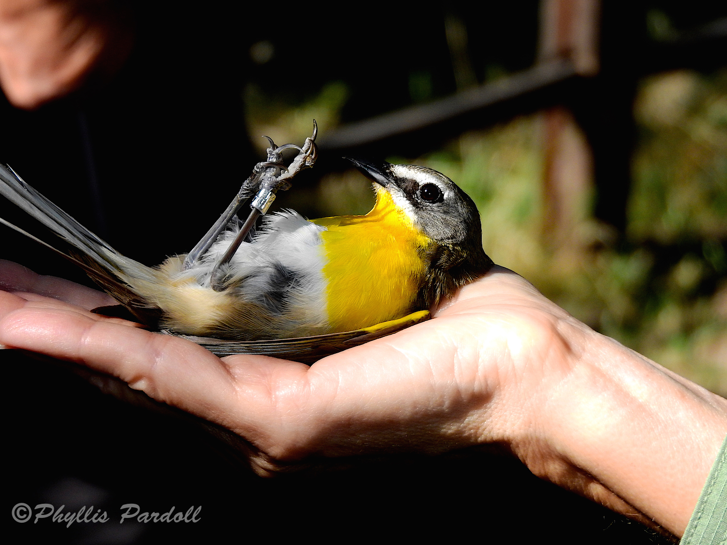 If a bird is placed on its back it will sit quietly. To release it is gently turned over onto the other hand. After just second it will fly away.
