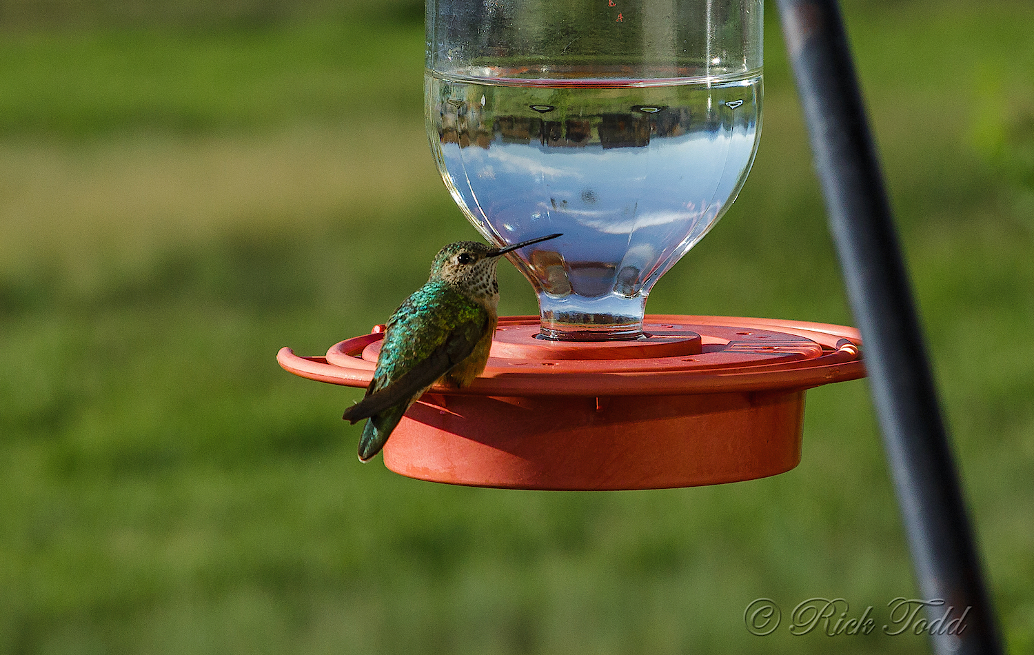 Rick wrote that there was ahummingbirds frenzy at this feeder. Lucky one sat still just long enough for a good shot.