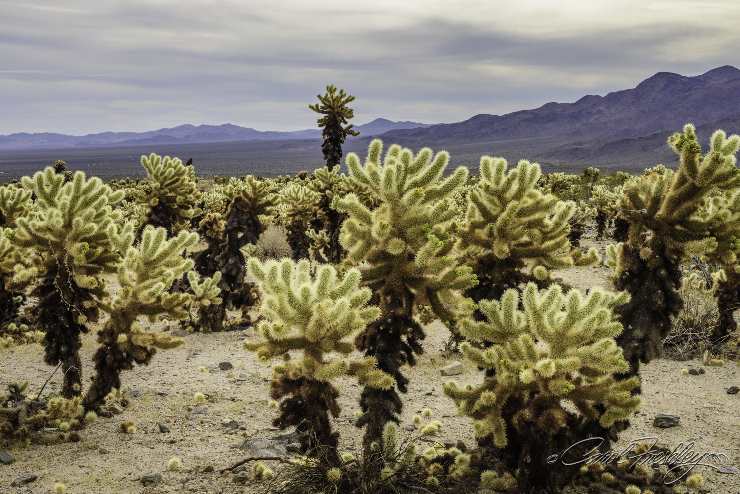 Leaving one ecosystem with Joshua Trees and getting into the Cholla Garden.