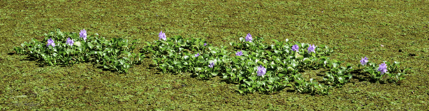 There are islands of floating flowers. You see them in the photograph above. These appear like they might be some variety of lily.