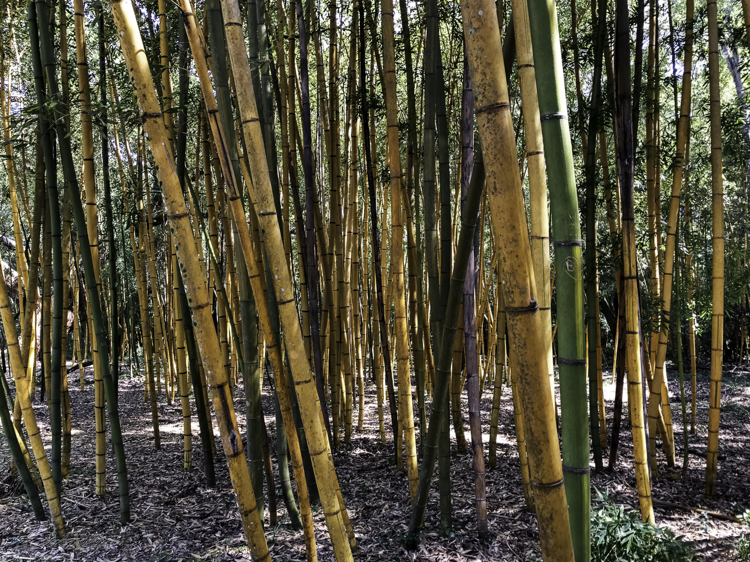Bamboo is quick growing and can reach mature size in one year. It is a commercial plant that grows well on the island.