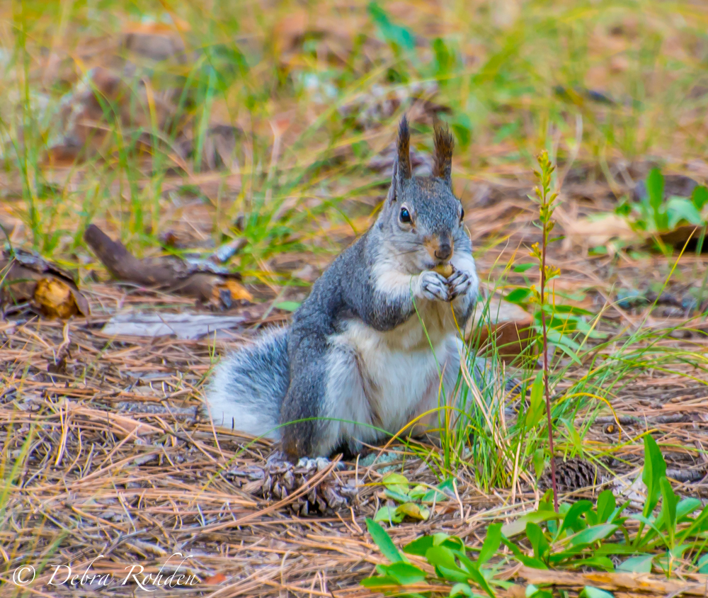 Albert's squirrel at Wood's Canyon Lake.