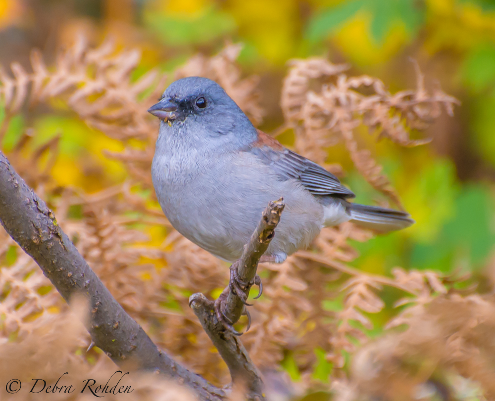 Black eye Junco