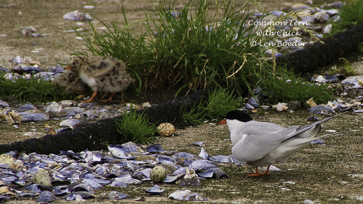 I have never seen a tern chick before. They are cute!!