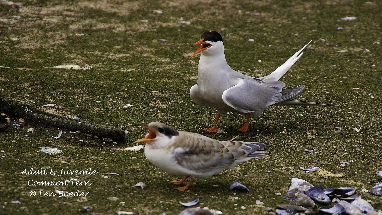 H. Common Tern & Juvenile 1008.jpg