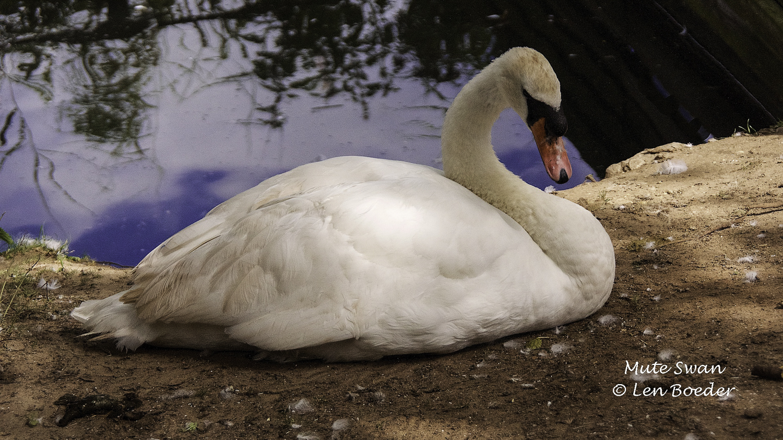 Mute Swan 1007.jpg