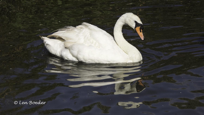 Swan 1107.jpg