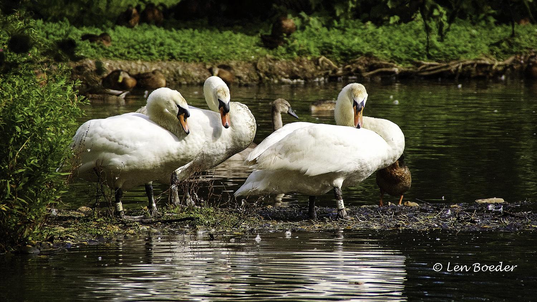 Swans 1107.jpg