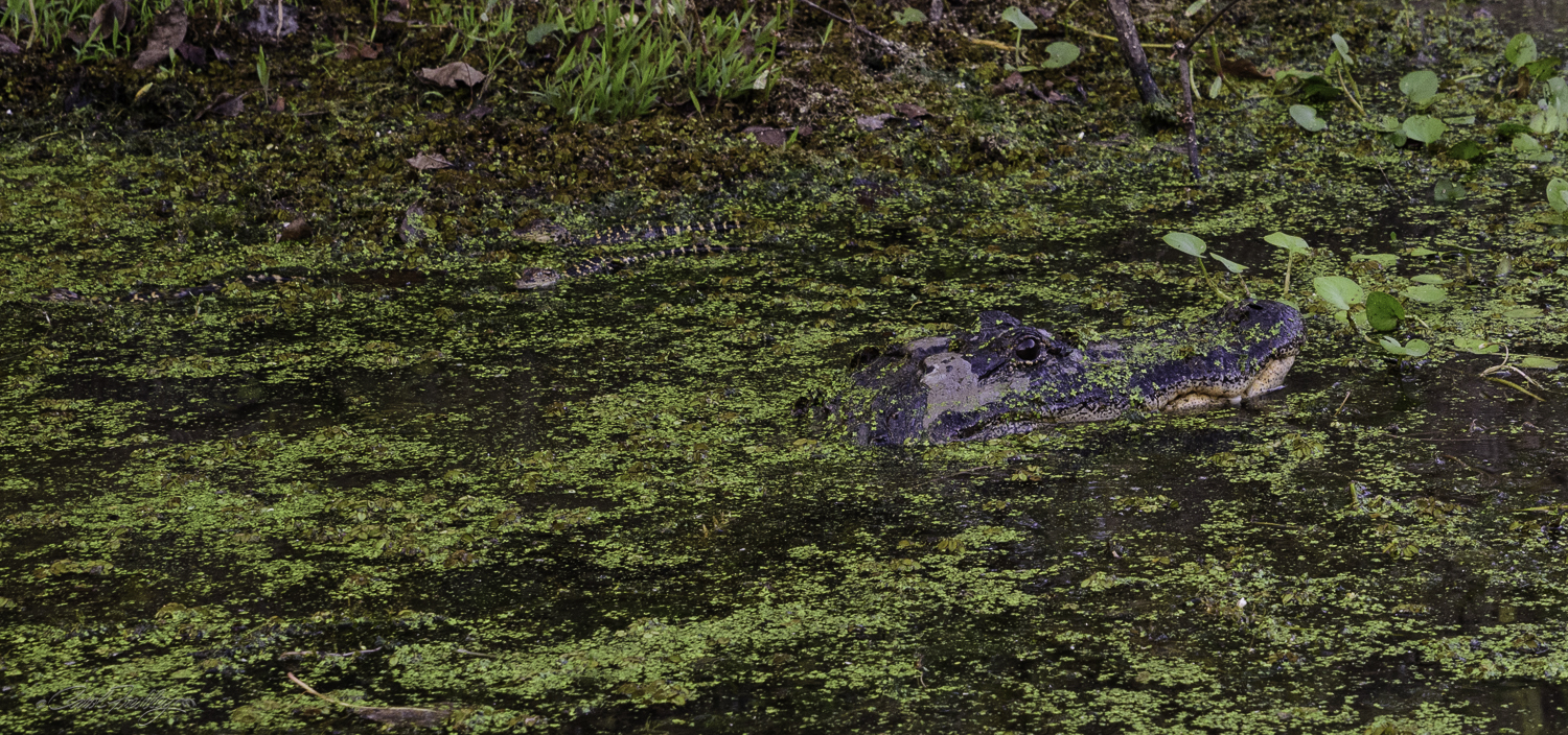Bryan knew where to find this mama alligator. If you look closely, you might spot the long darker yellow striped babies right behind her. Bryan was very respectful of her greater aggressive behavior while protecting her babies. He also did not want to stress her out.