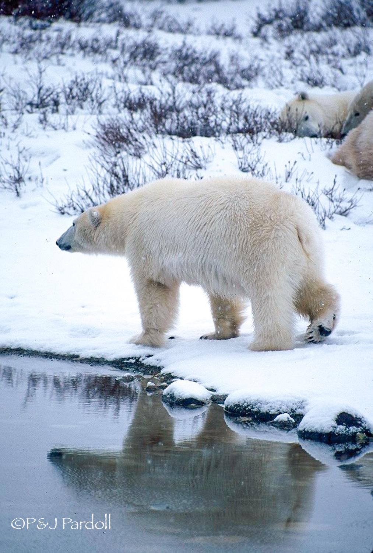 Polar Bear,  Churchill 1999Scanv
