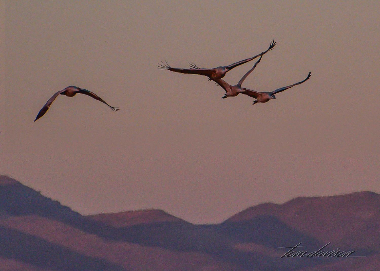 Tom got a few photographs of the cranes leaving.