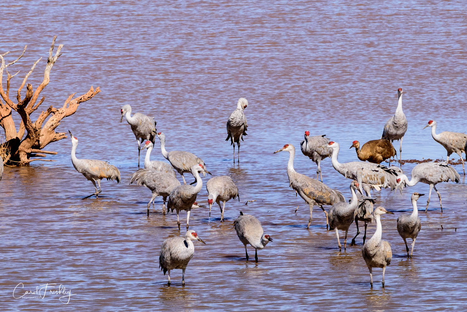 I was told by another photographer that brown Sand Hill Cranes are what is found on the East Coast.  Not sure if that is true.  This brown bird looked a bit out of place.