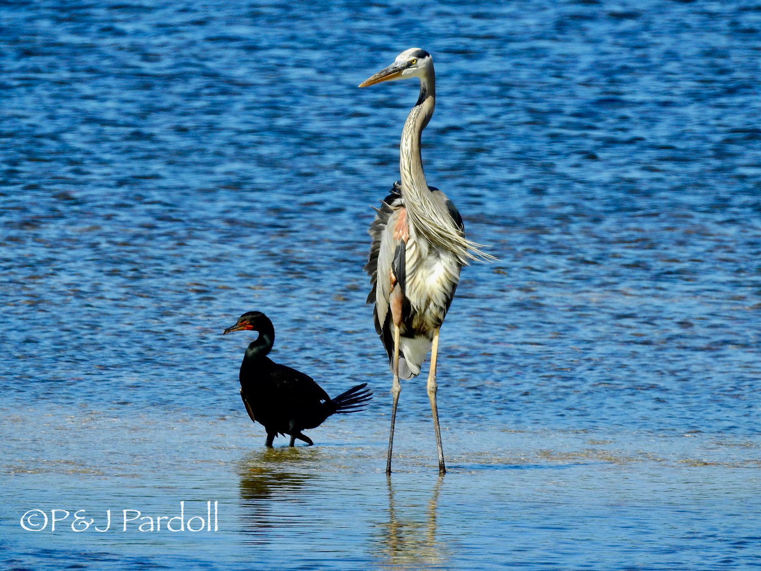 Great Blue Heron and Double-crested Coomerant