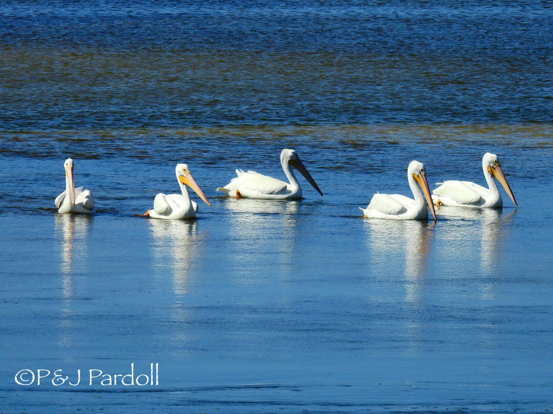 White Pelicans